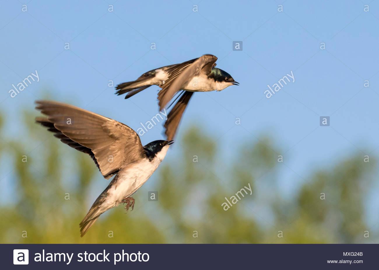 Tree swallows (Tachycineta bicolor) chasing in the air, Iowa, USA - Stock Image