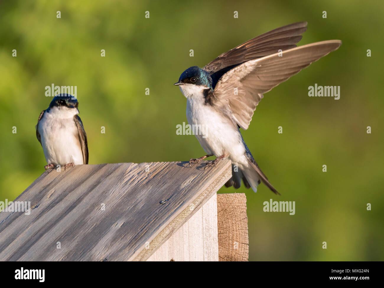 Tree swallow (Tachycineta bicolor) near bird house, Iowa, USA Stock Photo