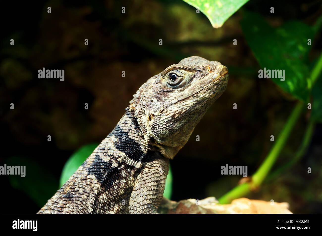 Green Small Lizard Gecko Close Up Macro In Terrarium Stock Photo