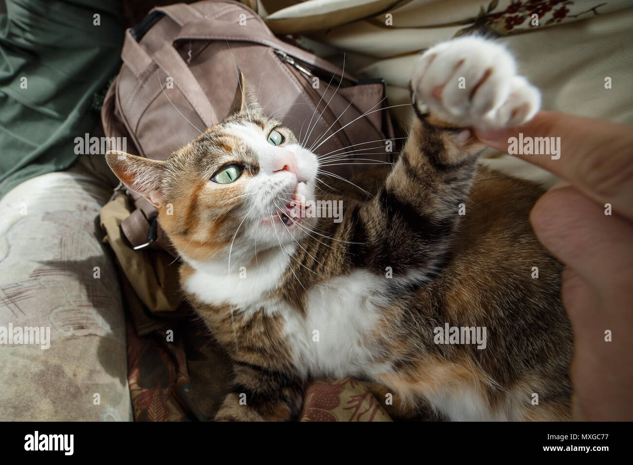Beautiful ginger angry cat playing with woman hand and biting her with funny emotions. - Stock Image