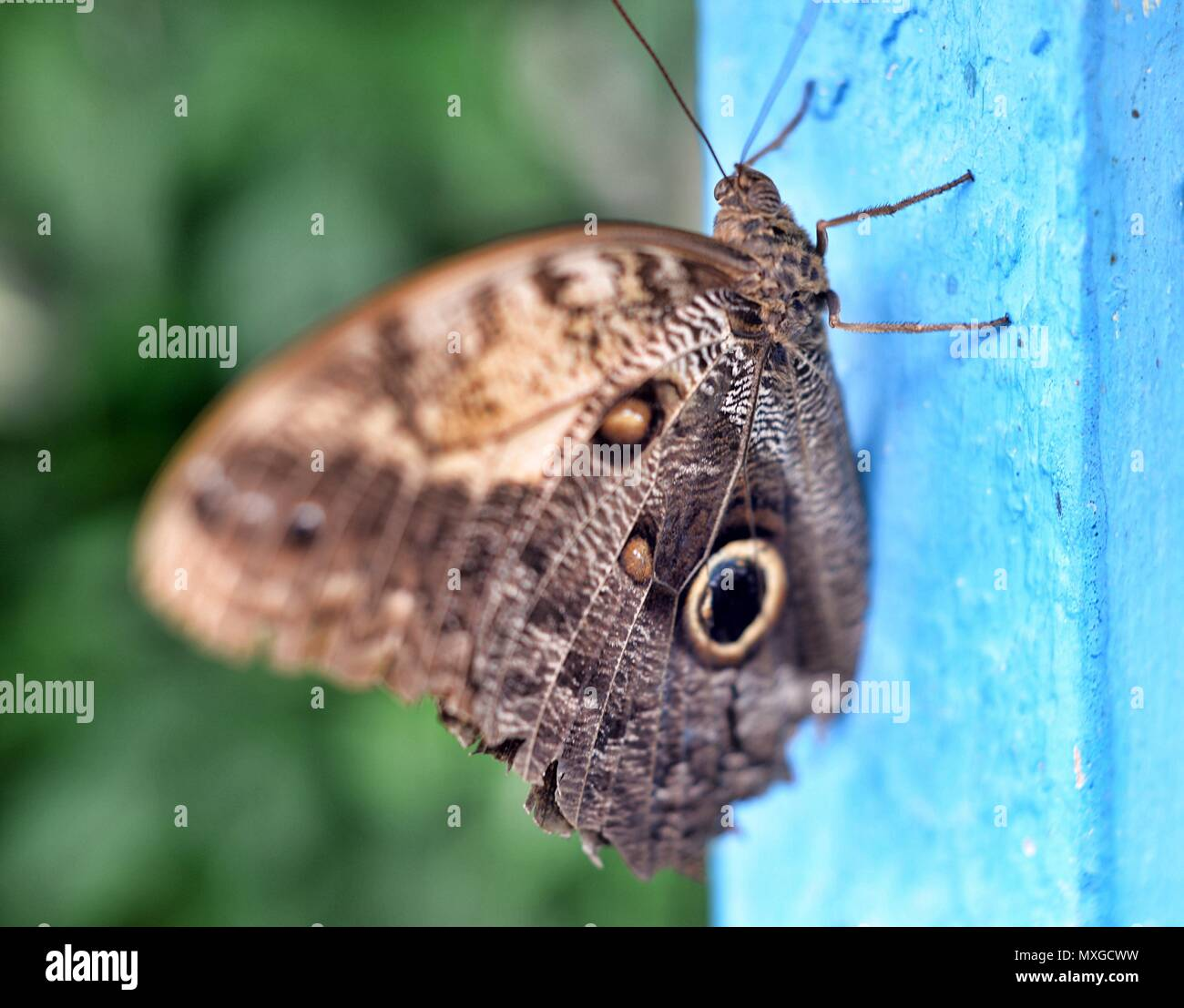 Forest Giant Owl Butterfly Caligo Eurilochus - Stock Image