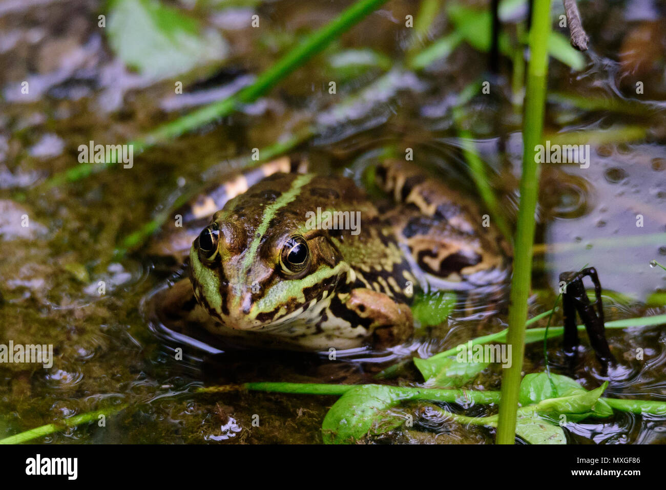 A green frog also known as the common water frog or edible frog in a pond with some foliage - Stock Image