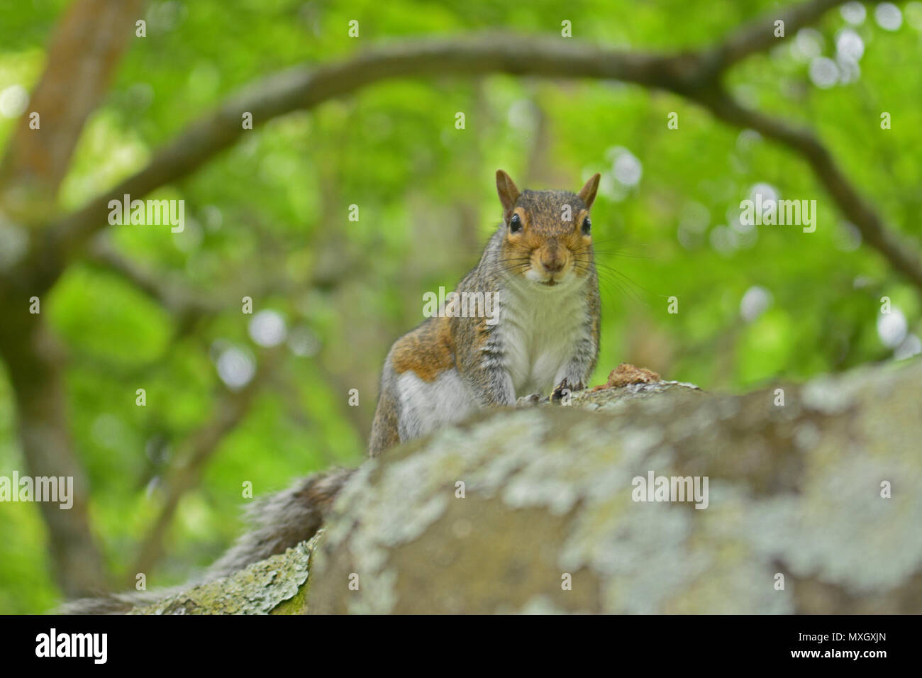 Bath, UK. 4th June, 2018. UK Weather.A Squirrel sitting in a tree in Bath Park watching the world pass by on a Hot and Humid Day. Robert Timoney/Alamy/Live/News - Stock Image