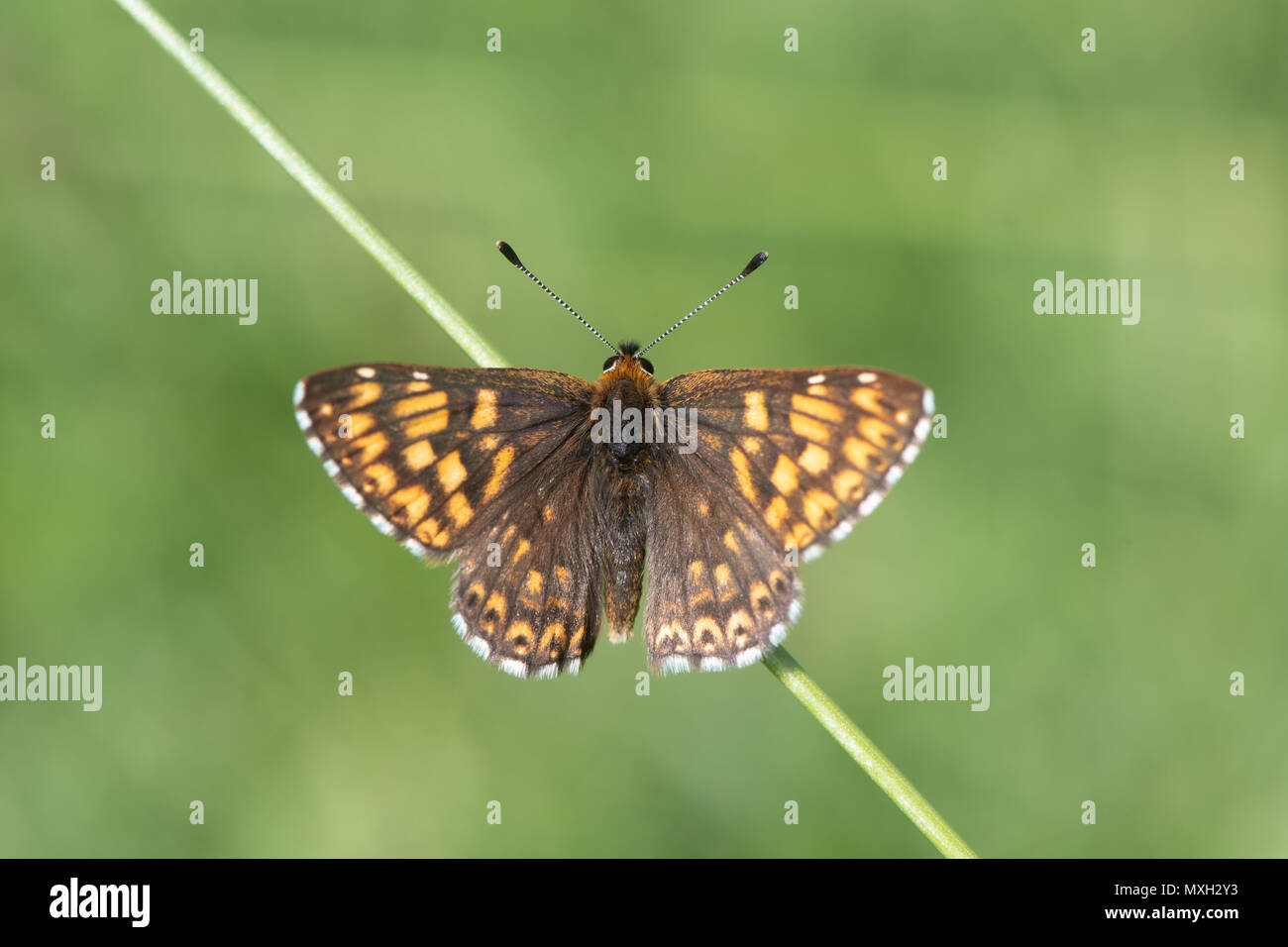Duke of Burgundy fritillary butterfly (Hamearis lucina) from above. Upperwings of male insect in the family Riodinidae, perched on grass basking - Stock Image