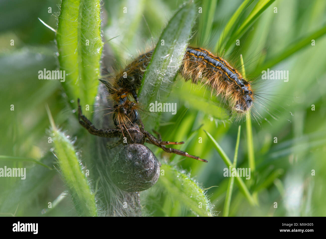 Crab spider attacking lackey moth caterpillar. Struggle between Xysticus sp. and Malacosoma neustria amongst low vegetation, finally won by spider - Stock Image