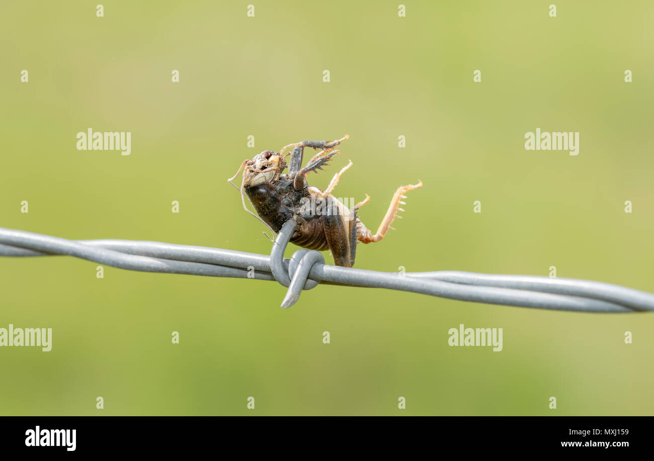 Great Plains Camel Cricket (Daihinia brevipes) Impaled on Barbed Wire by a Loggerhead Shrike - Stock Image