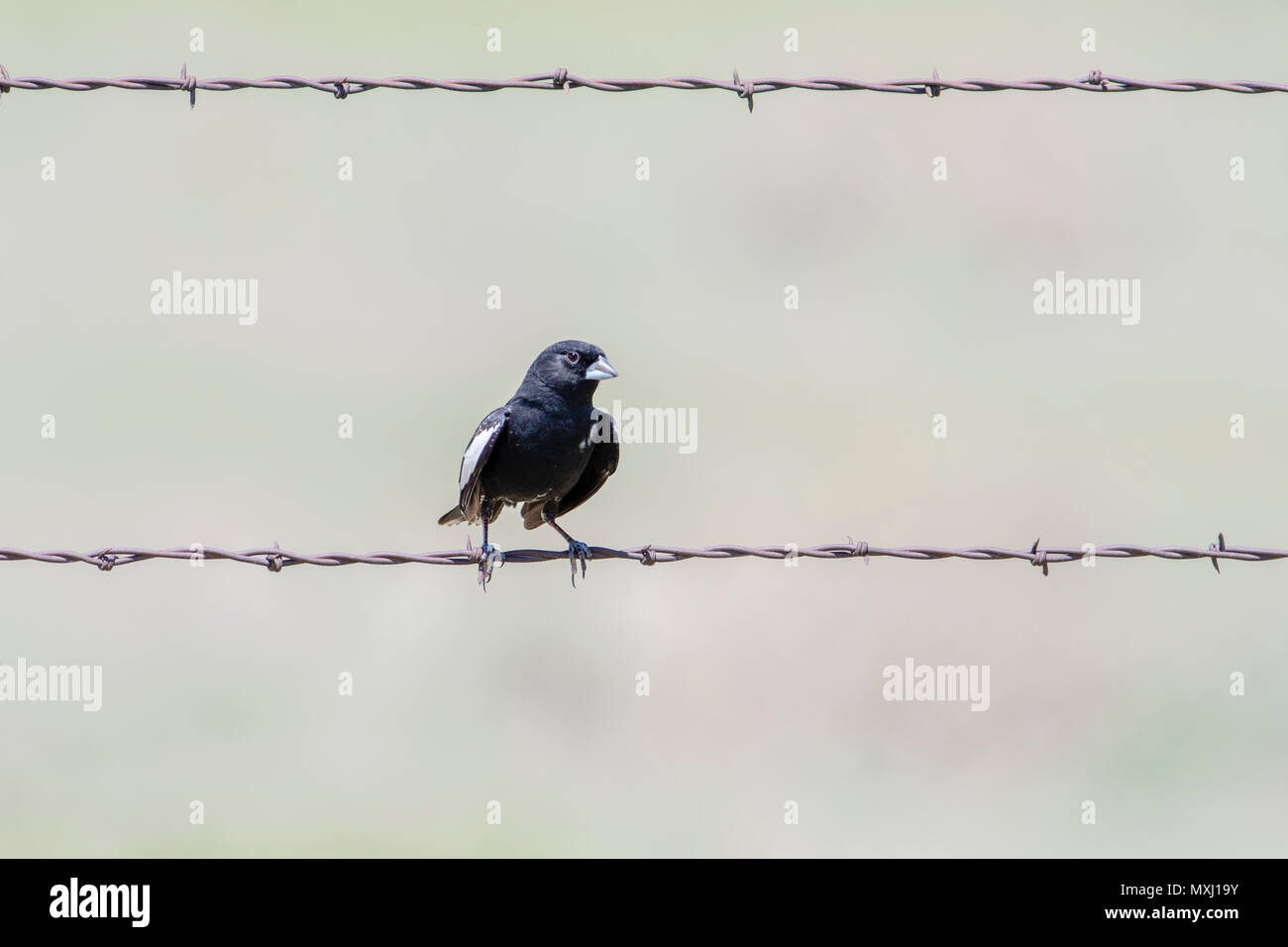 Male Lark Bunting (Calamospiza melanocorys) Perched on Barbed Wire on the Grasslands of Colorado - Stock Image