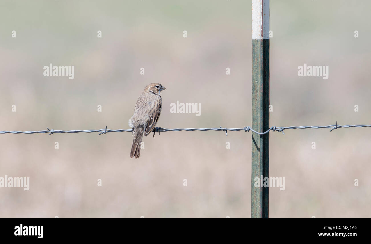 Female Lark Bunting (Calamospiza melanocorys) Perched on Barbed Wire on the Grasslands of Colorado - Stock Image