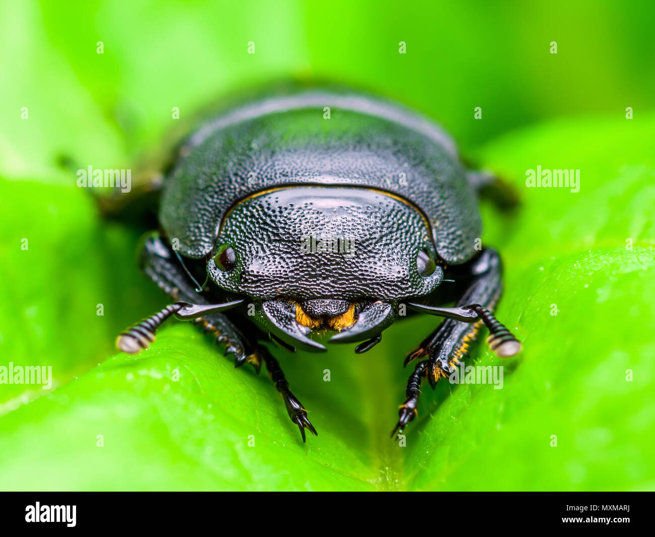 Dark Beetle Insect on Green Leaf Background - Stock Image