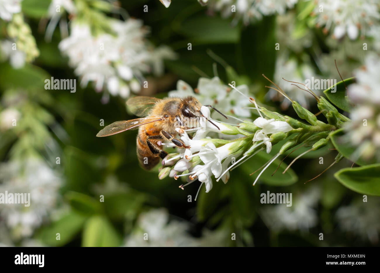 close up of a wild bee gathering nectar from white flowers - Stock Image