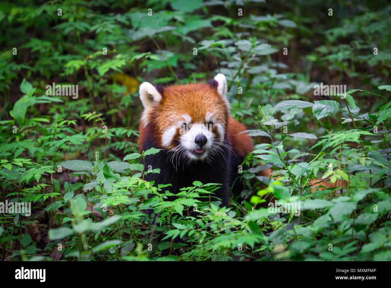 Portrait of an adorable Red Panda , Ailurus fulgens , fire fox surrounded by plants in forest - Stock Image