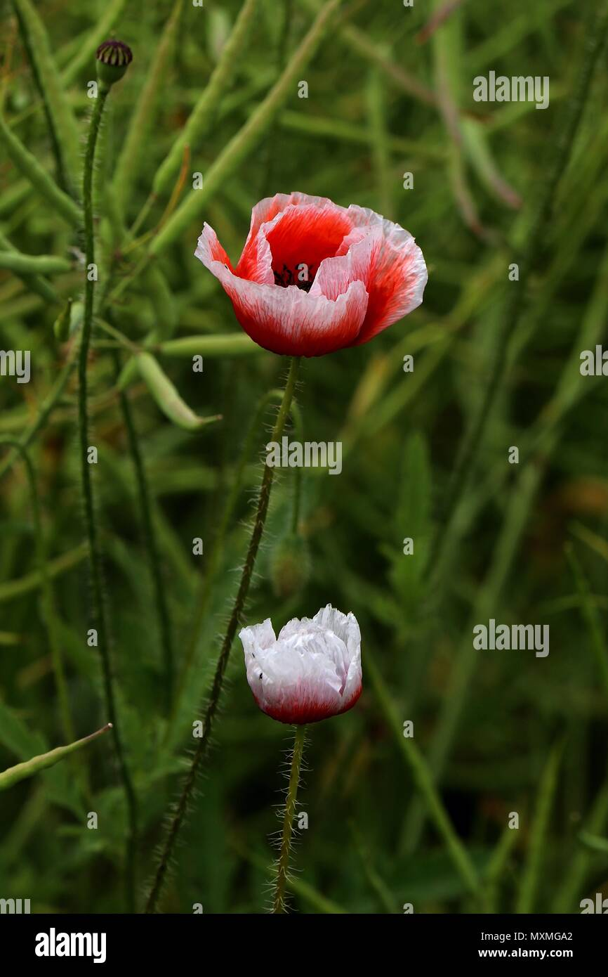 Red And White Poppy Flowers Papaver Rhoeas Two Poppies Found In A