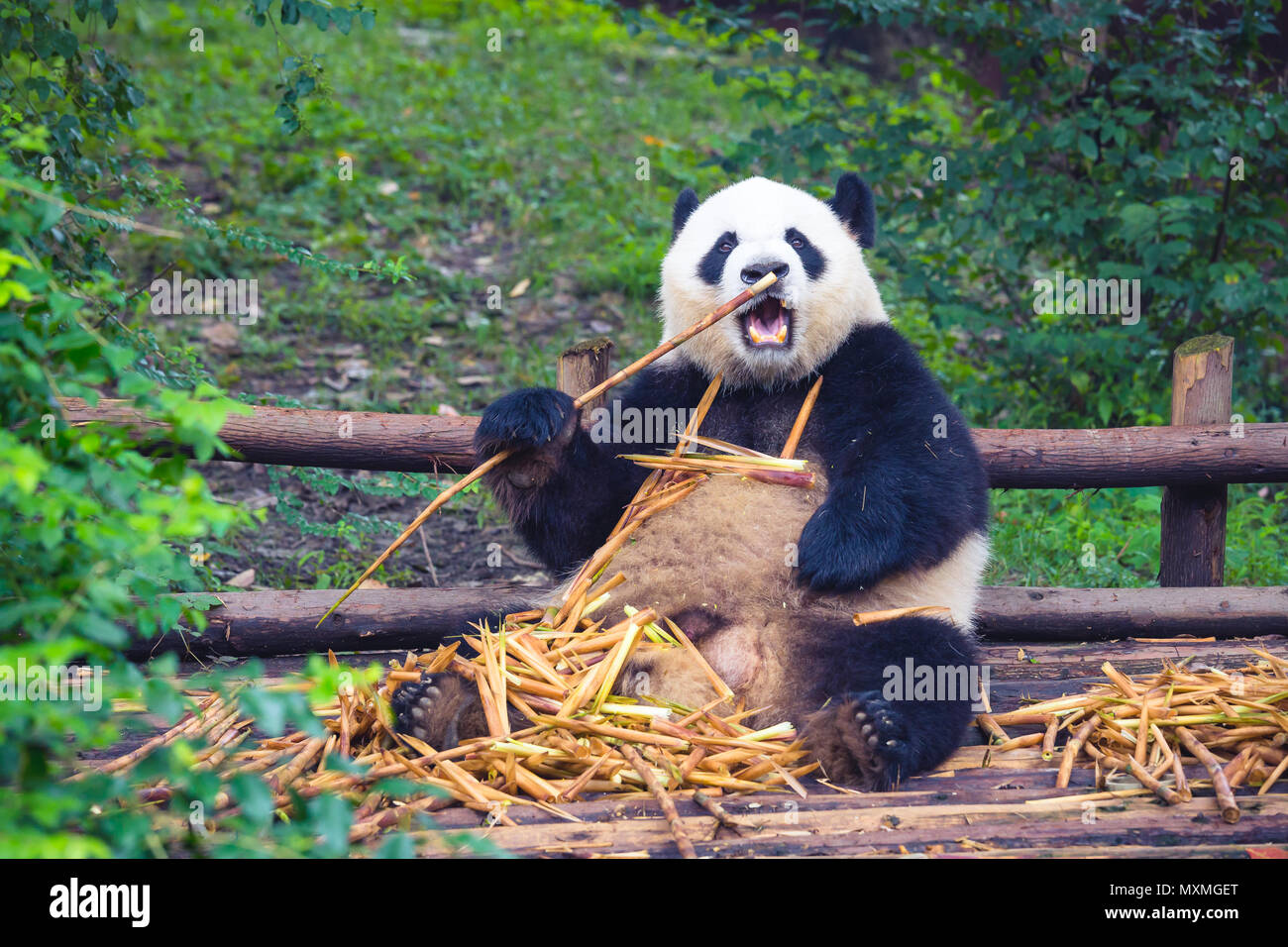 Giant Panda eating bamboo lying down on wood in Chengdu during day , Sichuan Province, China - Stock Image