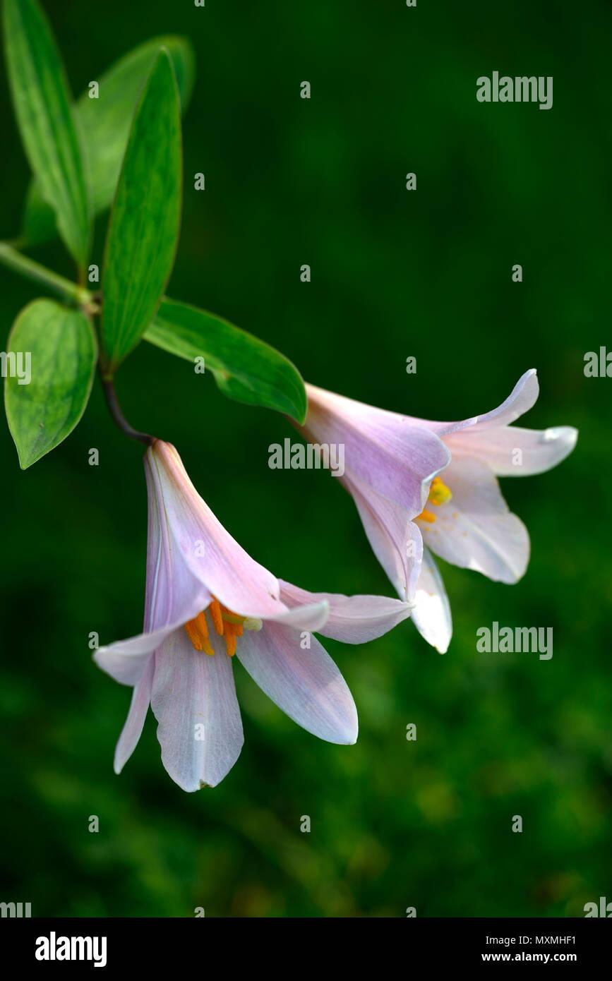 Lilium rubellumotome yurimaiden lilypink liliesflowersflowers lilium rubellumotome yurimaiden lilypink liliesflowersflowers floweringscentedalpinespeciesrm floral izmirmasajfo