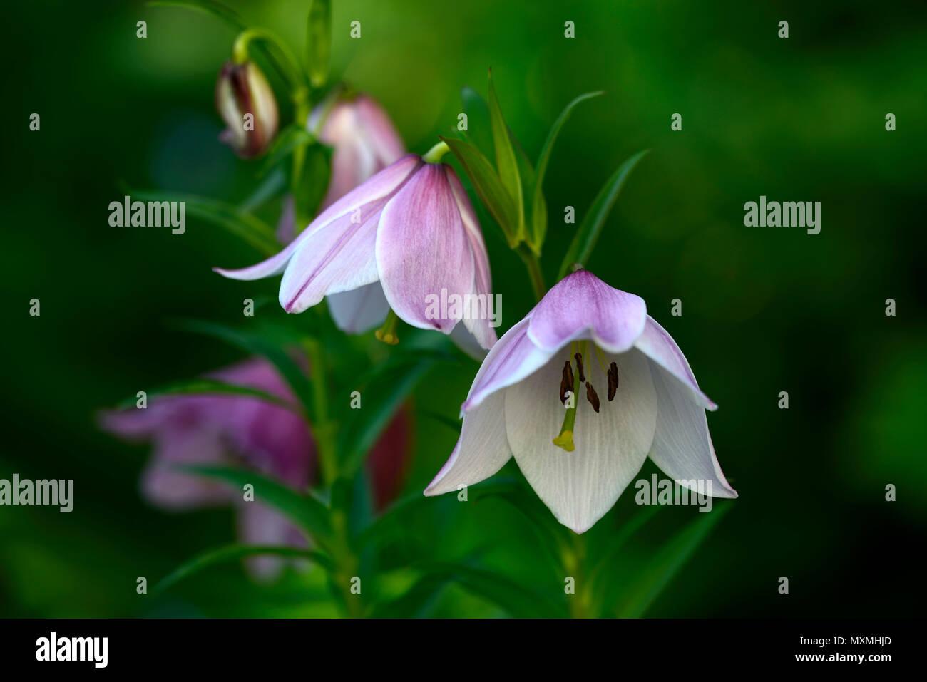 lilium mackliniae,Shirui,Siroi,lily,white,pink,species,lilies,naga ...
