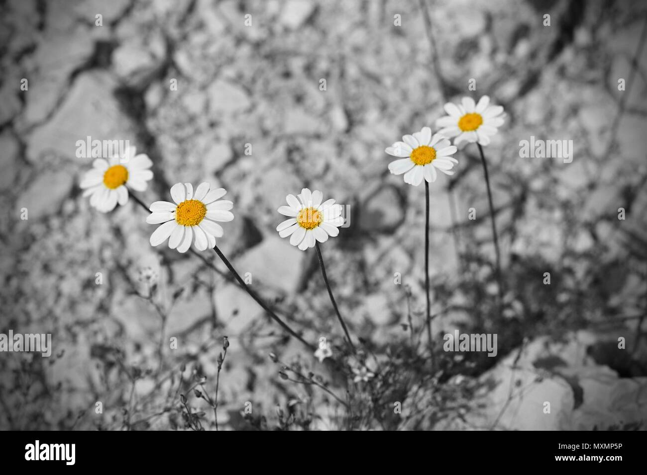 Tanacetum Flowers In Color With Black And White Rocky Background