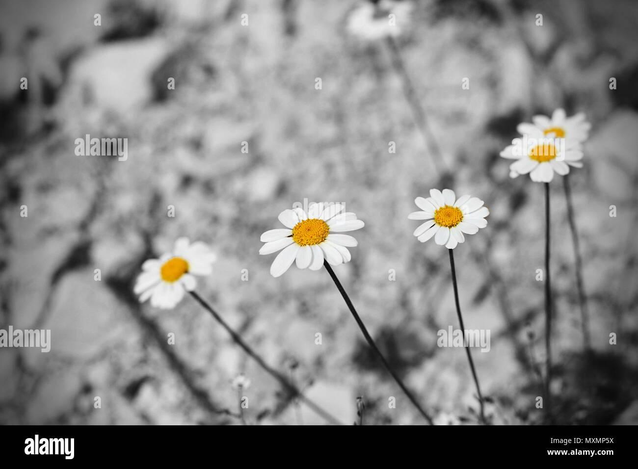White Flower Five Petals Yellow Stock Photos White Flower Five