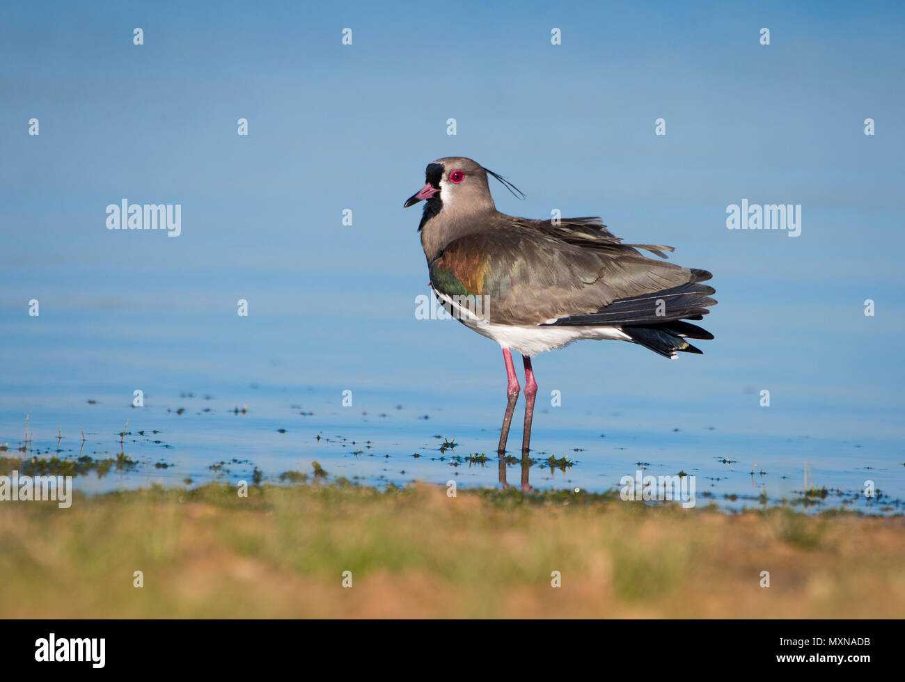 A Southern Lapwing (Vanellus chilensis) from the Pantanal of Brazil - Stock Image