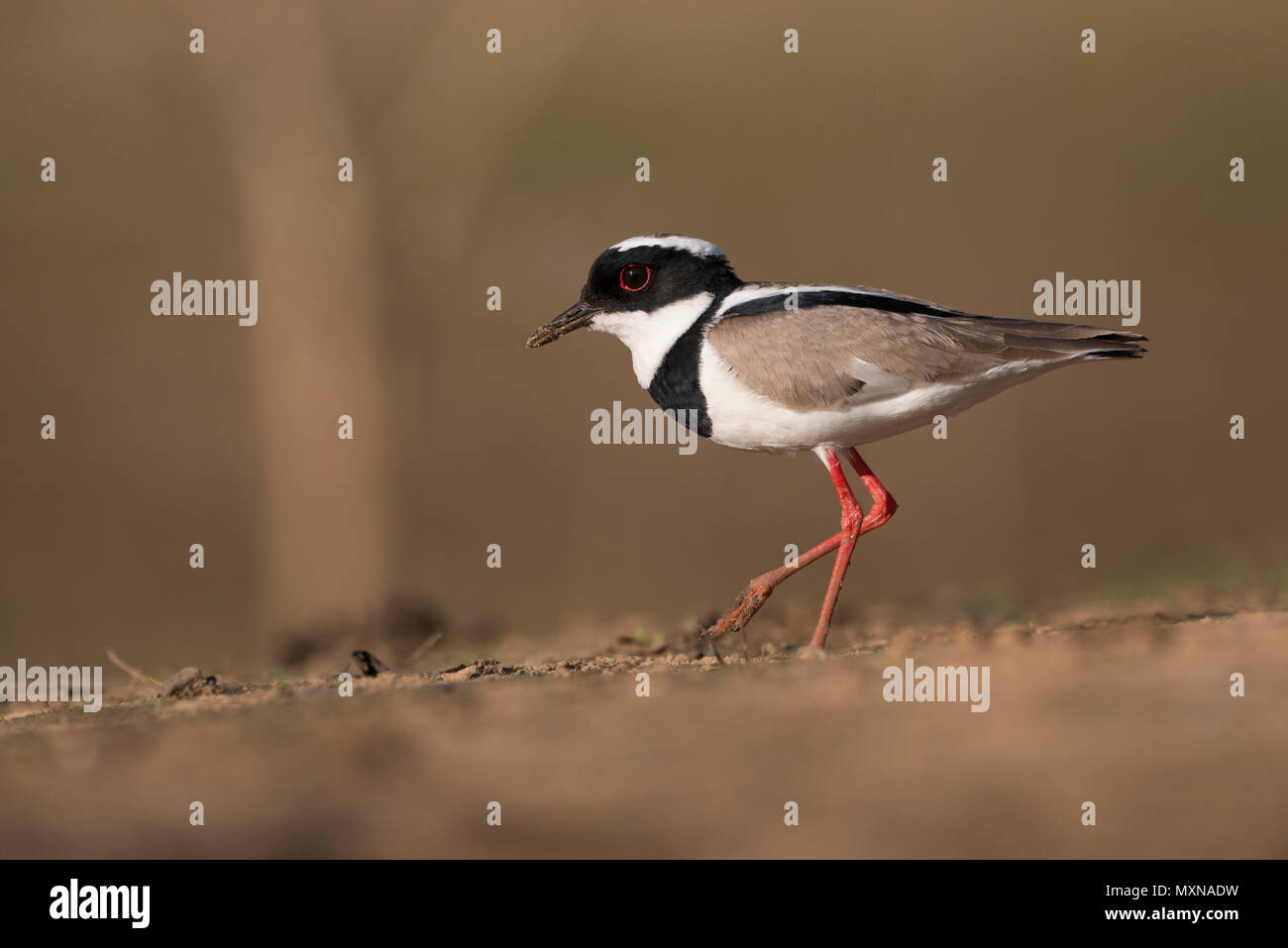 A Pied Plover (Vanellus cayanus) from the Pantana of Brazil - Stock Image