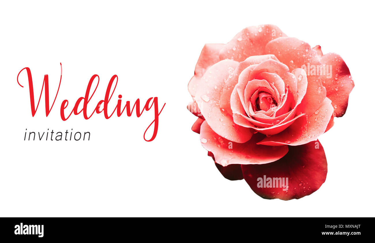 Wedding invitation text card template and red pink rose after the ...