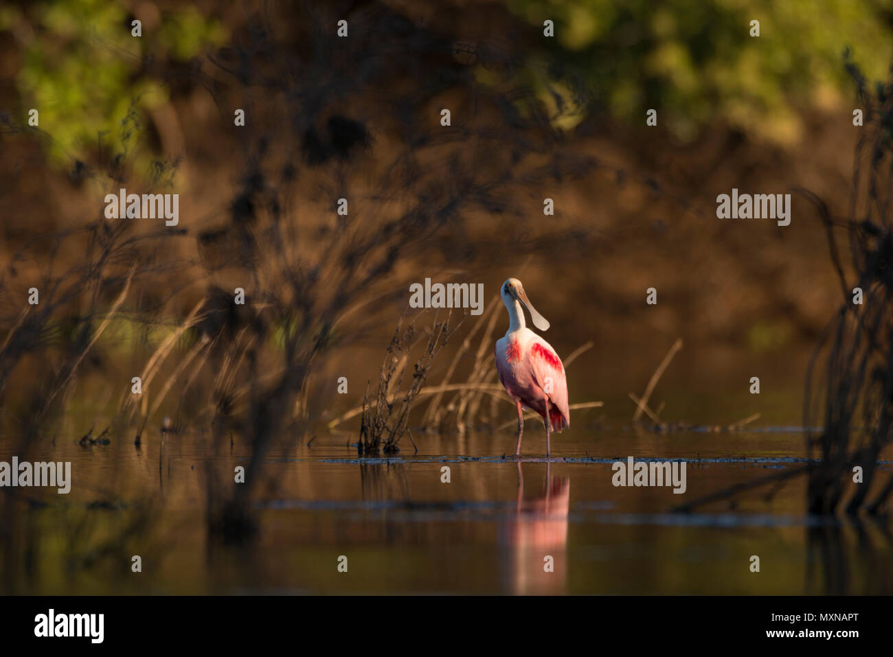 A Roseate Spoonbill from the Pantanal of Brazil - Stock Image