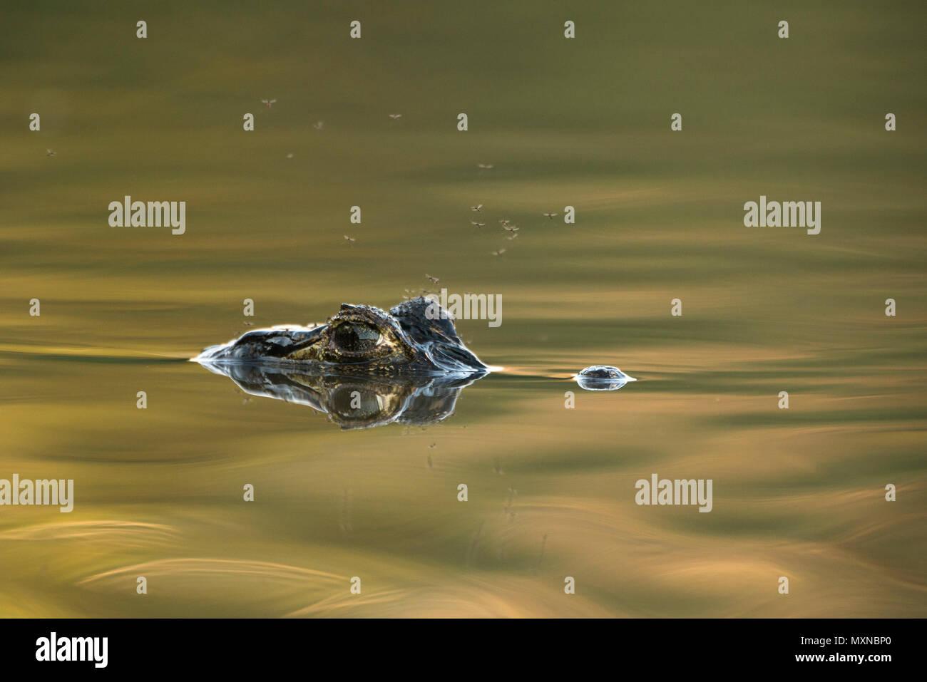Pantanal Caiman (Caiman yacare) - Stock Image