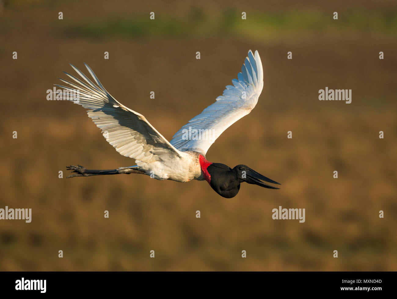 A Jabiru Stork flying over the fields of the Pantanal during the dry season. - Stock Image