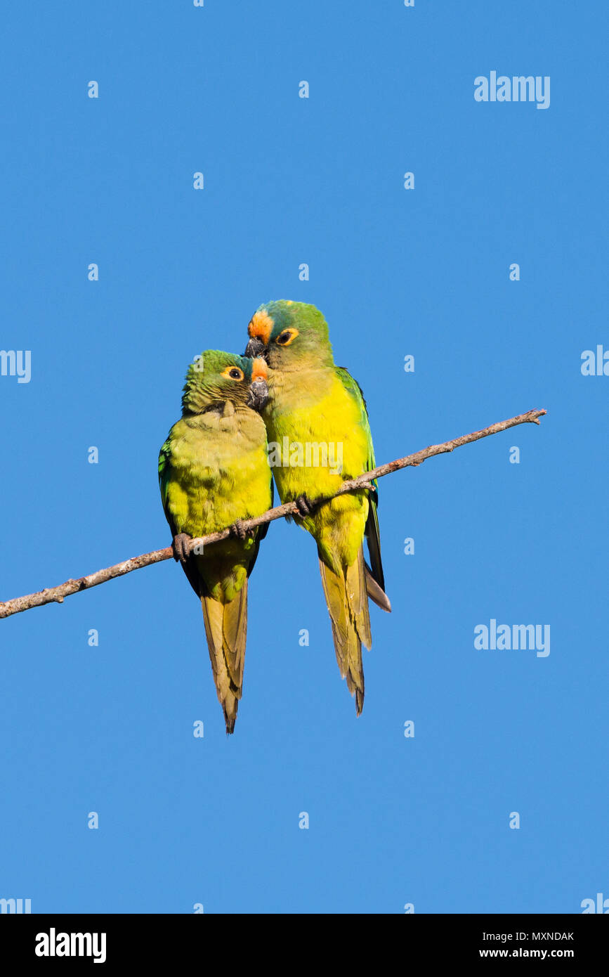 A breeding pair of Peach-fronted Parakeets caressing each other - Stock Image