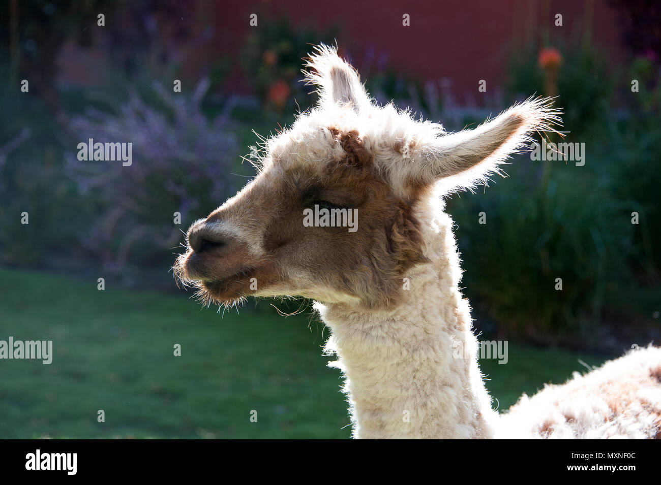 A young llama in Peru South America - Stock Image