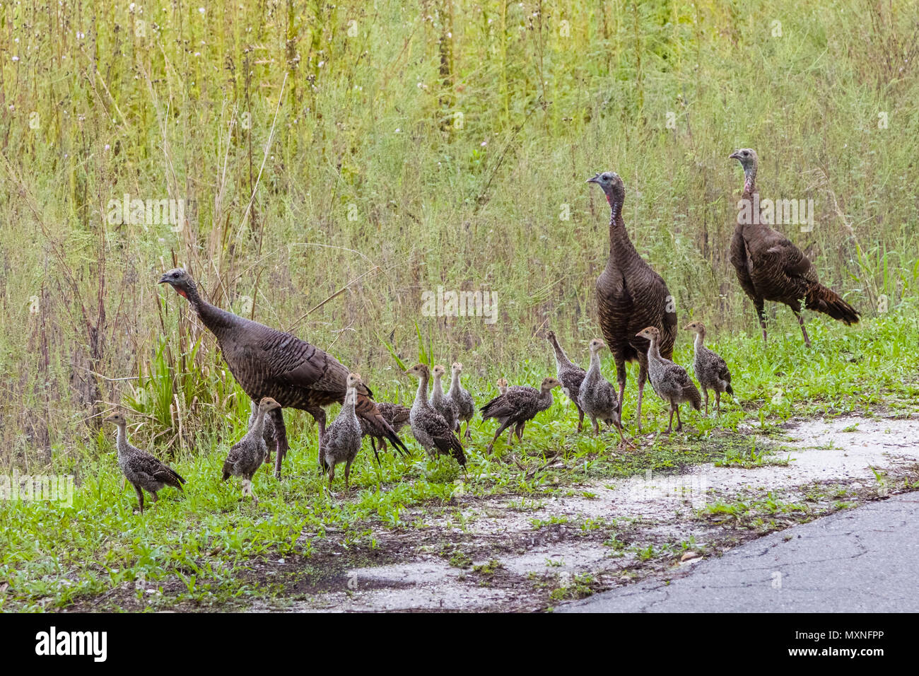 Rafter or a flock of adult and young wi rafter or a flockld Turkeys in Myakka River State Park, Sarasota, Florida - Stock Image