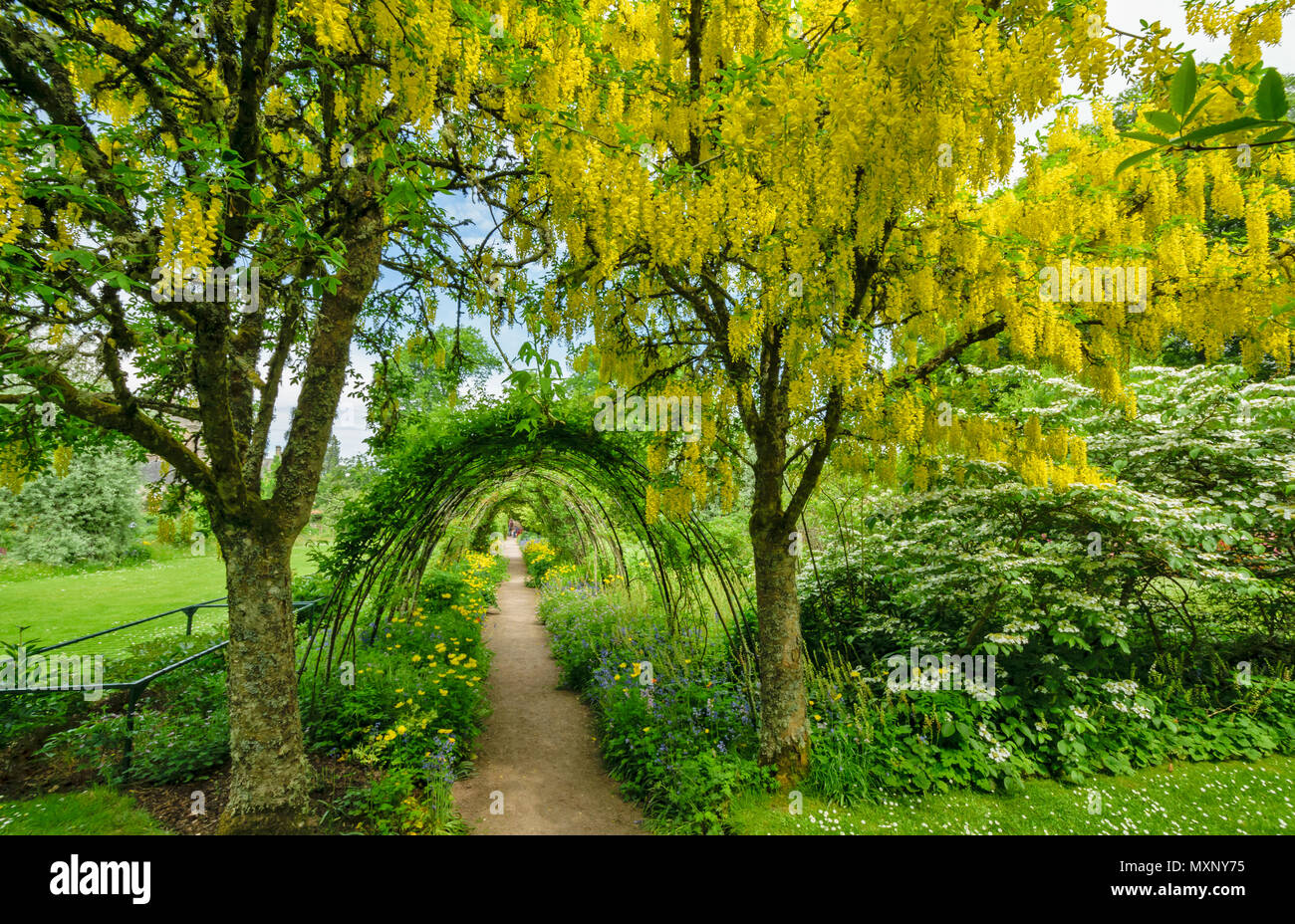 Cawdor castle nairn scotland laburnum trees and yellow flowers with cawdor castle nairn scotland laburnum trees and yellow flowers with archway tunnel lined by flowers mightylinksfo