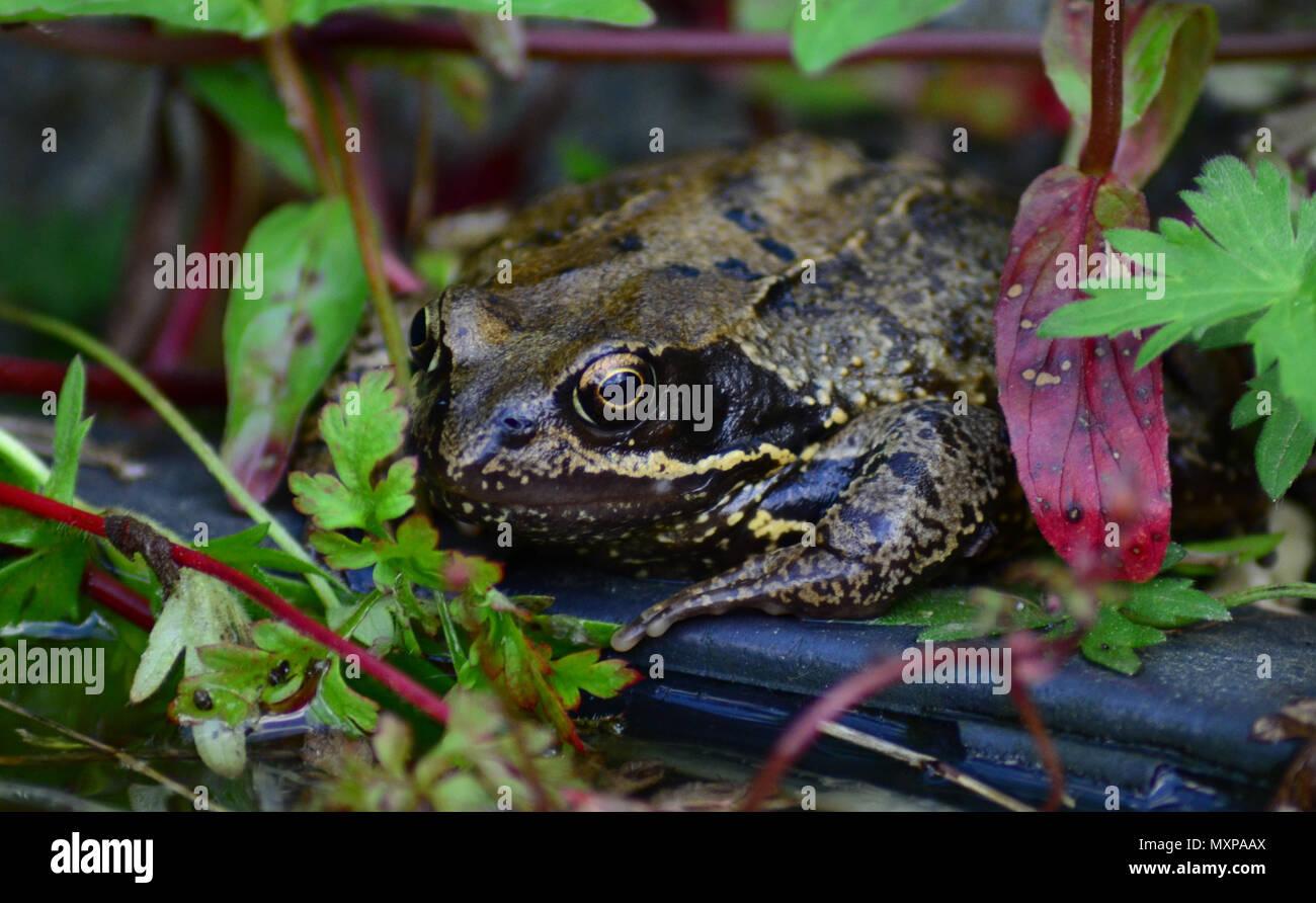 UK frog, common amphibian - Stock Image