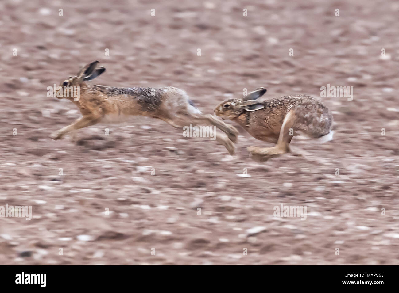 Running brown hares across a dirt field in Norfolk during mating season. Wild animals caught at speed during a chase - Stock Image