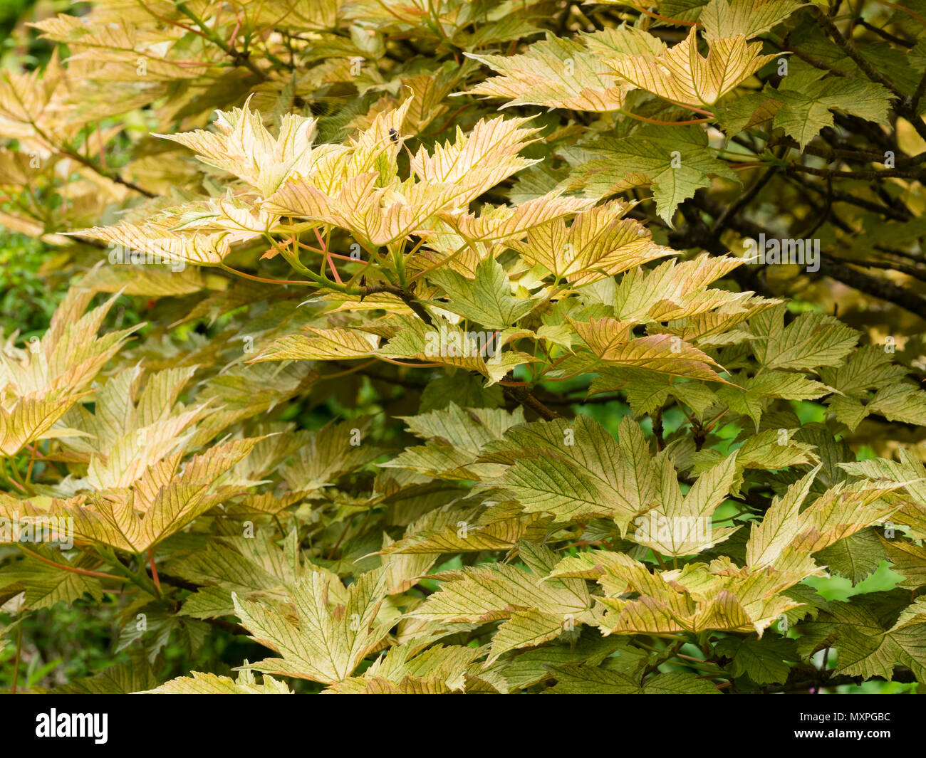 Bronzed And Mottled Foliage Of The Deciduous Tree Acer