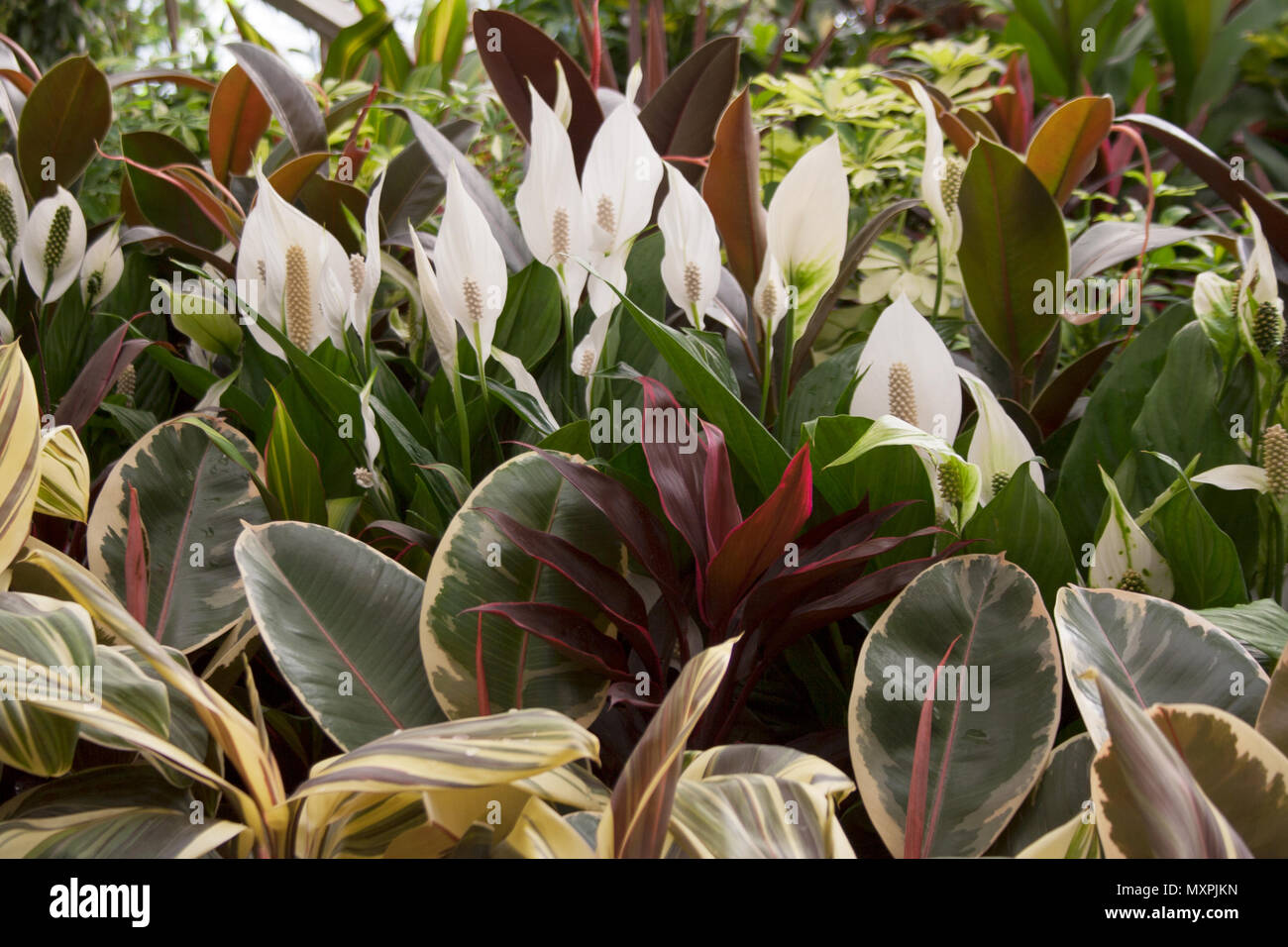 Spathiphyllum Plant White Flowers Behind Indian Rubber Fig Tree