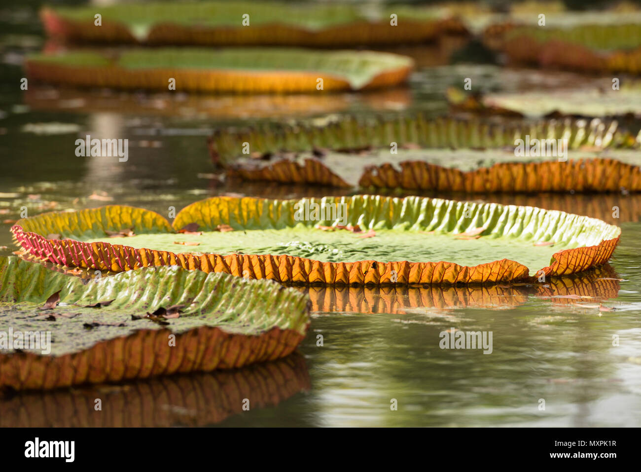 Giant Water Lilies (Victoria amazonic) in the Sir Seewoosagur Ramgoolam Botanic Gardens, Pamplemousses, Mauritius Stock Photo