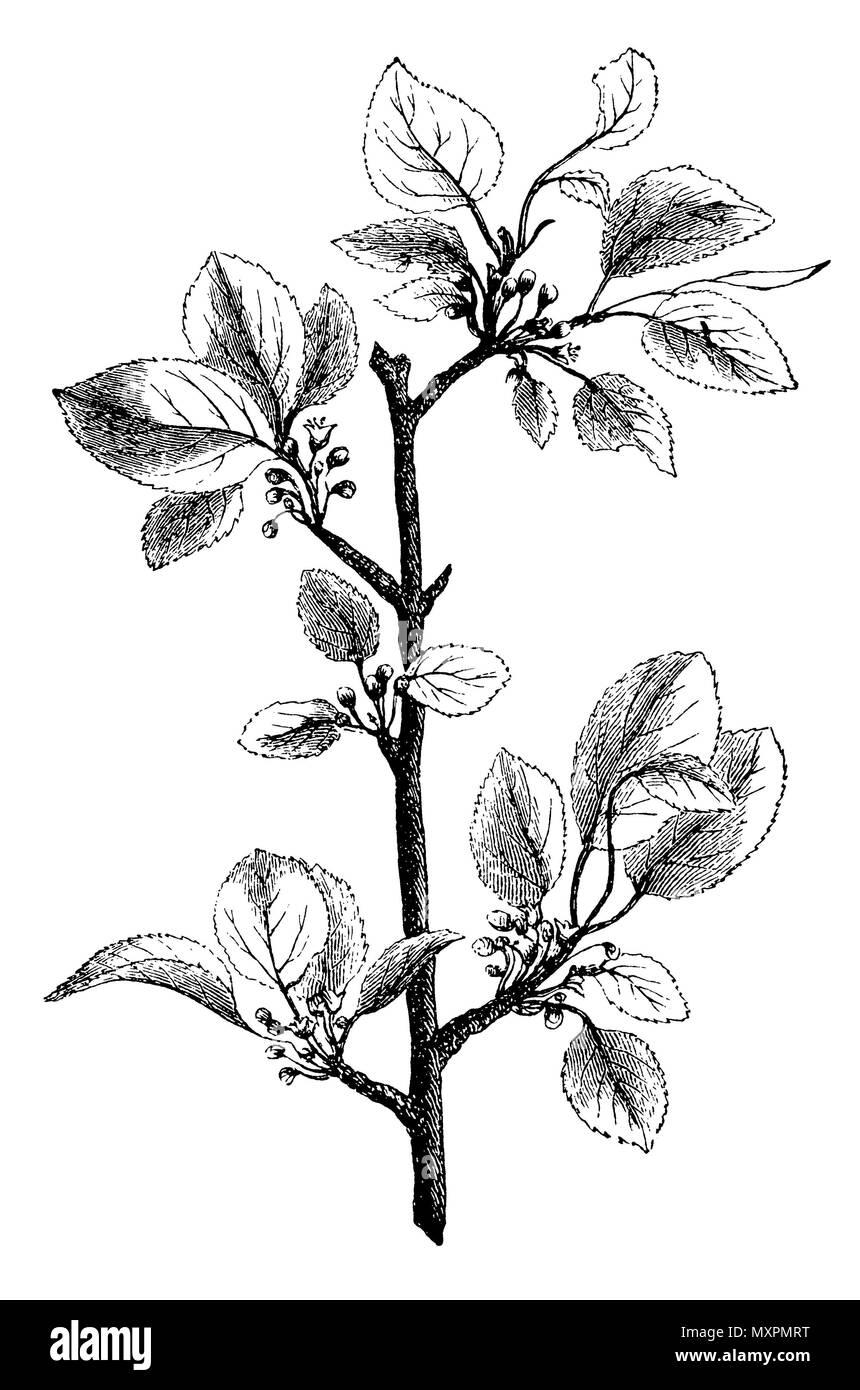 Buckthorn <Rhamnus cathartica>, - Stock Image
