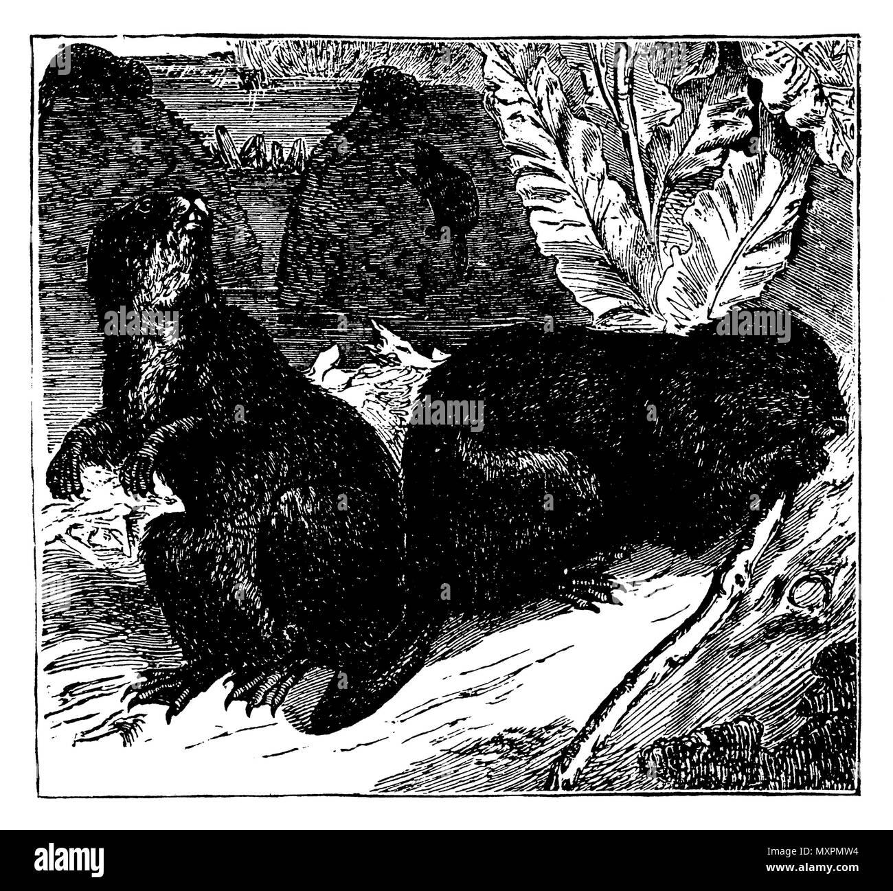 Beaver, European <Castor fiber>,   1880 - Stock Image