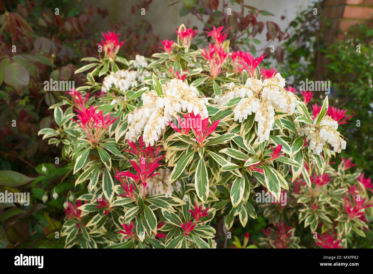 Pieris Japonica Flaming Silver Showing New Leaves And Flowers In
