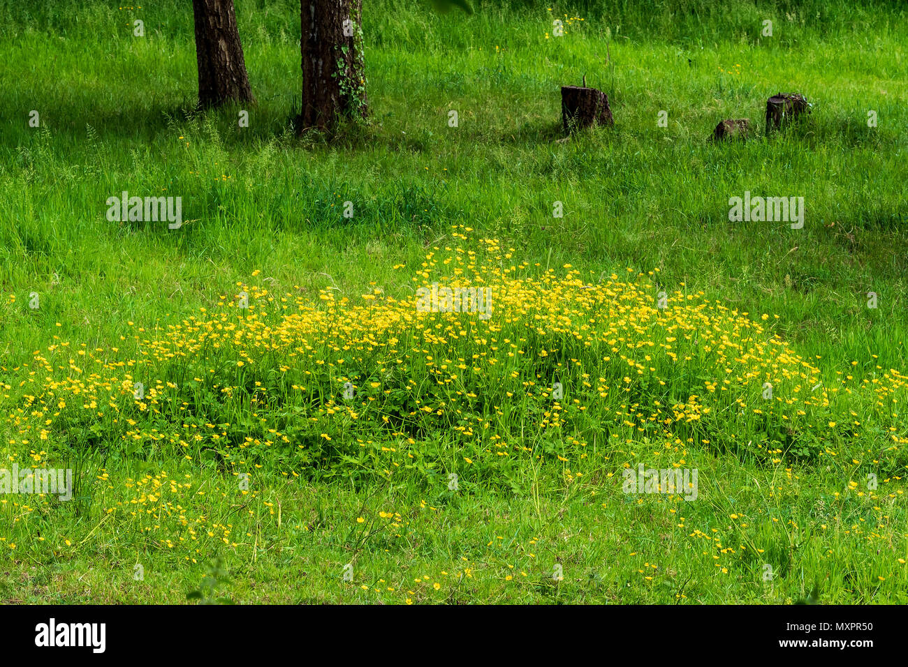 A patch of buttercups in a field - Stock Image
