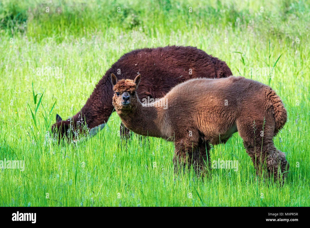 Llamas in field, domesticated South American camelid - Stock Image