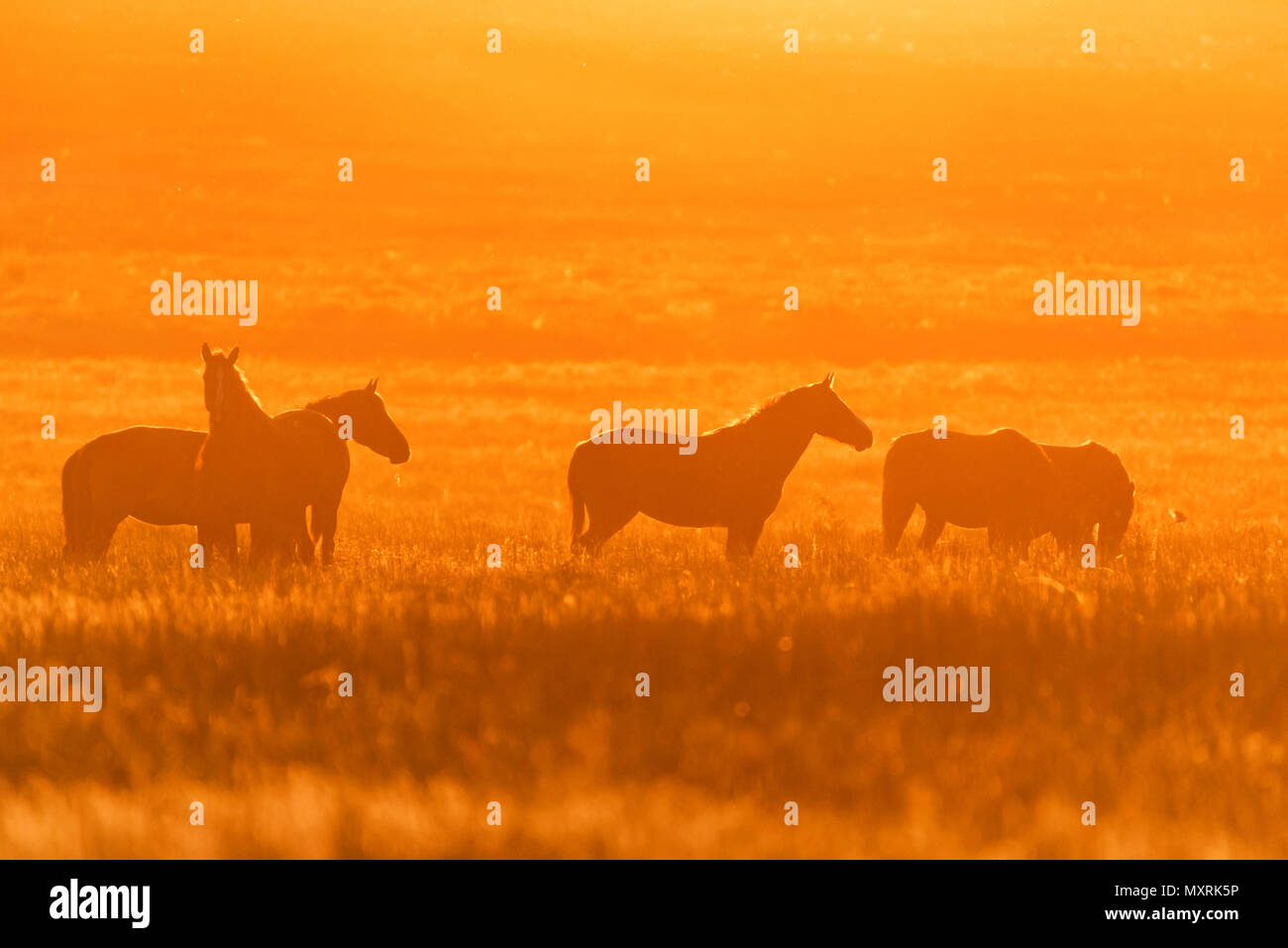 Wild horses graze in the meadow at sunset - Stock Image