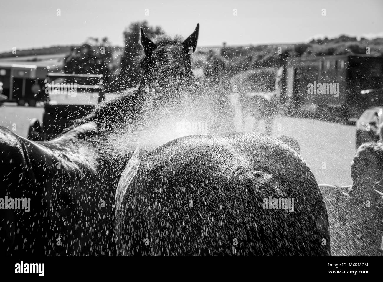 A large horse is cooled down with water on a hot day after performing at the Weald and Downland Living Museum in Singleton, West Sussex, UK. - Stock Image