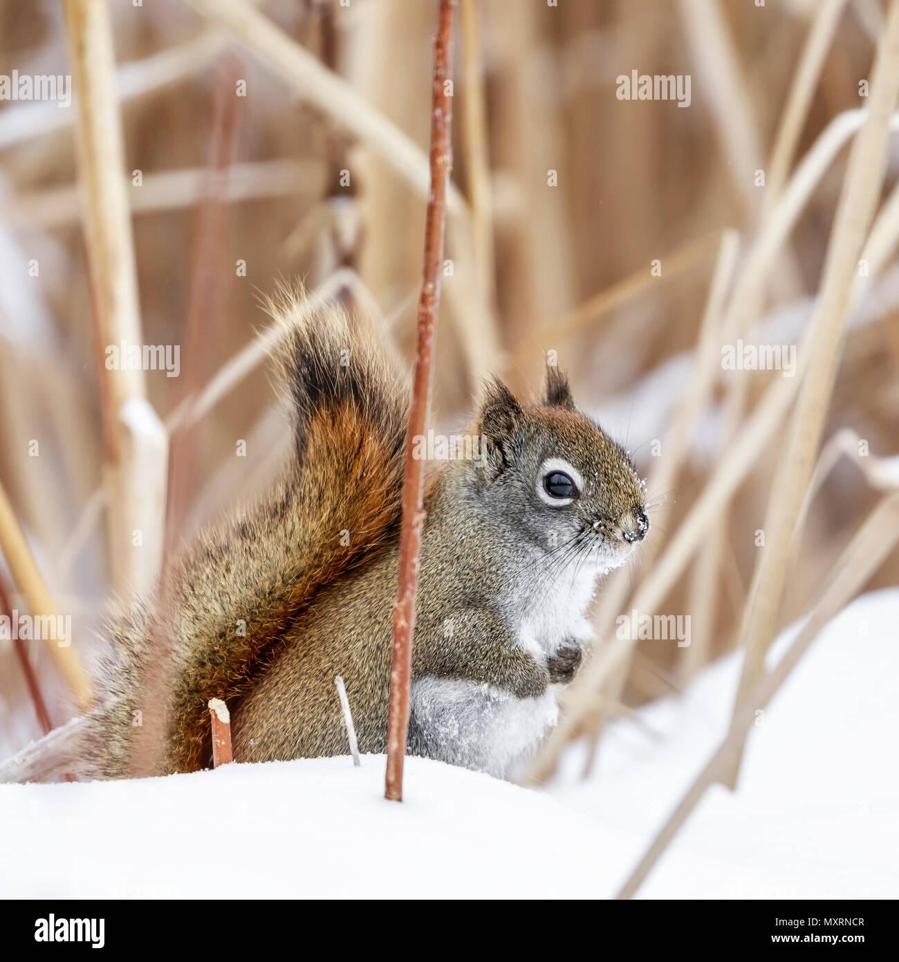 American Red Squirrel in snow, (Tamiasciurus hudsonicus), Manitoba, Canada. - Stock Image