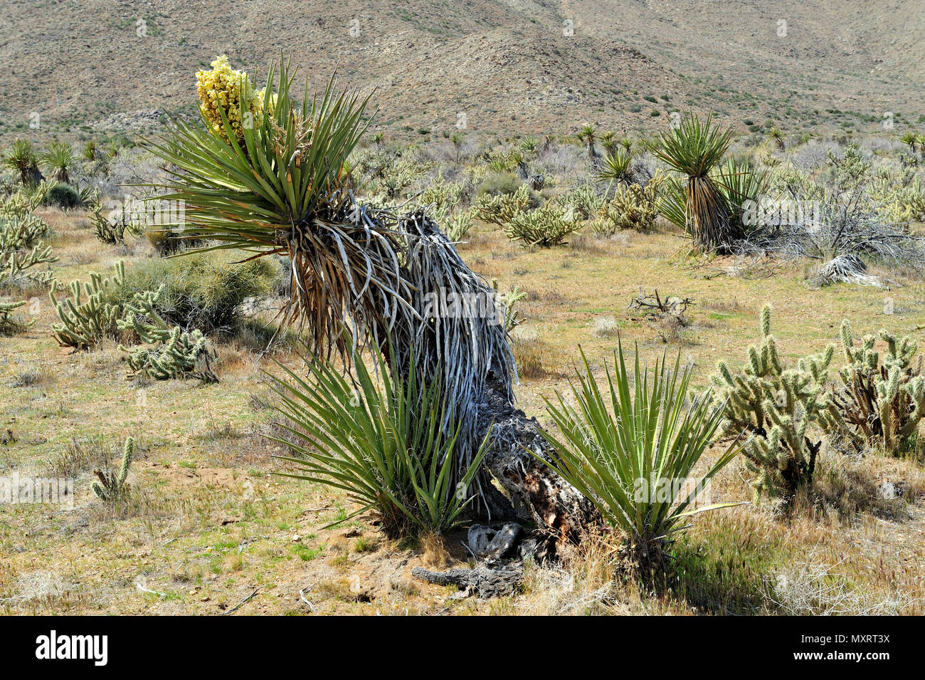 Blooming Yucca, Cool Canyon,  Anza-Borrego Desert State Park, CA, USA 120328_30224 - Stock Image