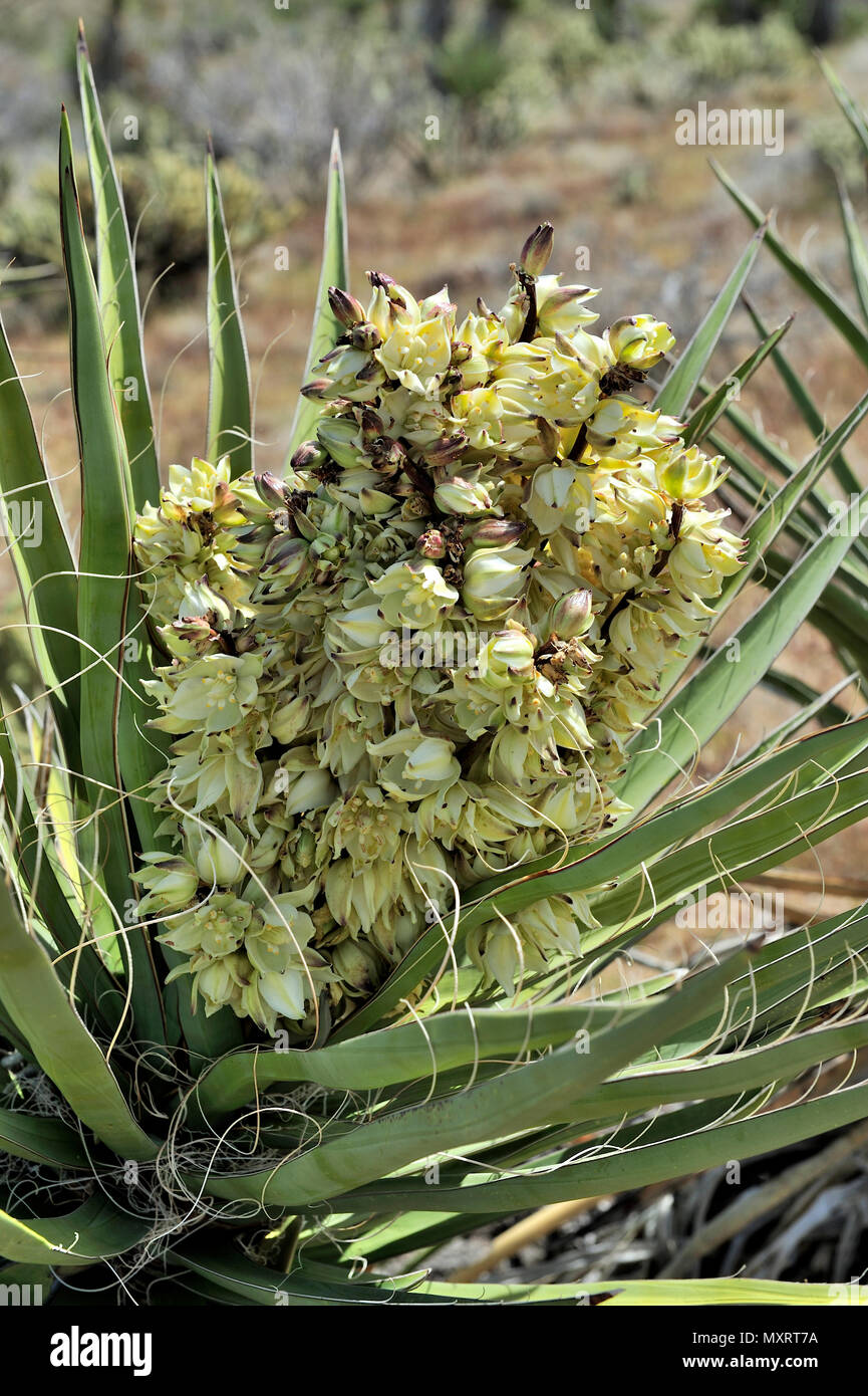 Blooming Yucca, Cool Canyon,  Anza-Borrego Desert State Park, CA, USA 120328_30228 - Stock Image