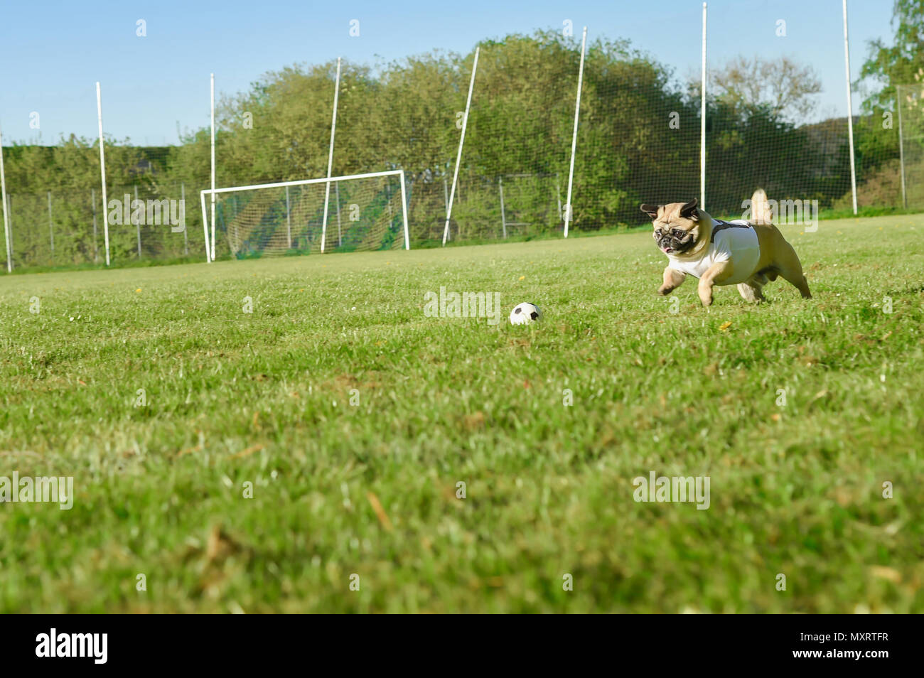 Small dog of breed pug chases after a small football. He jumps through the grass. He is attentive and active. The dog is wearing a white tricot. - Stock Image