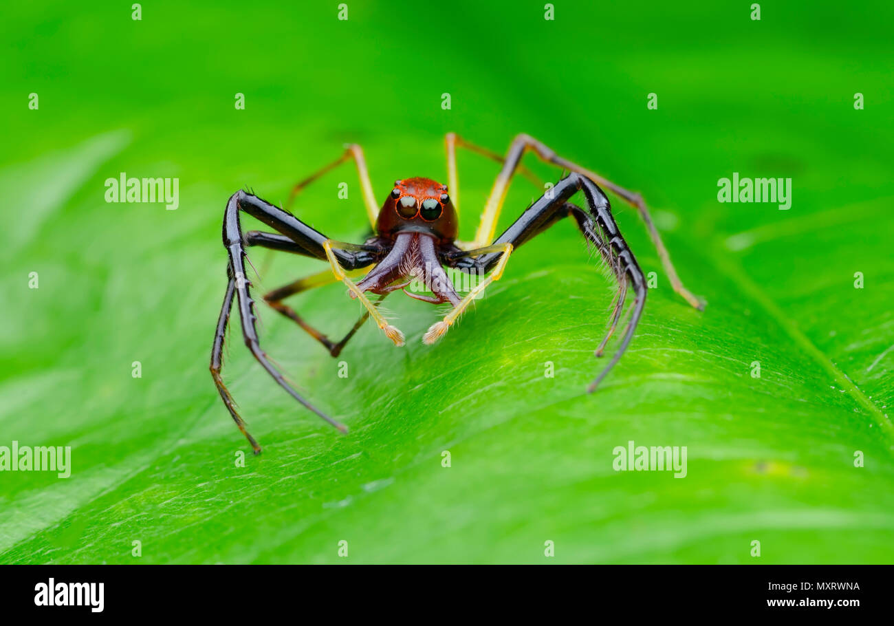 wide jawed jumping spider on leaf. - Stock Image