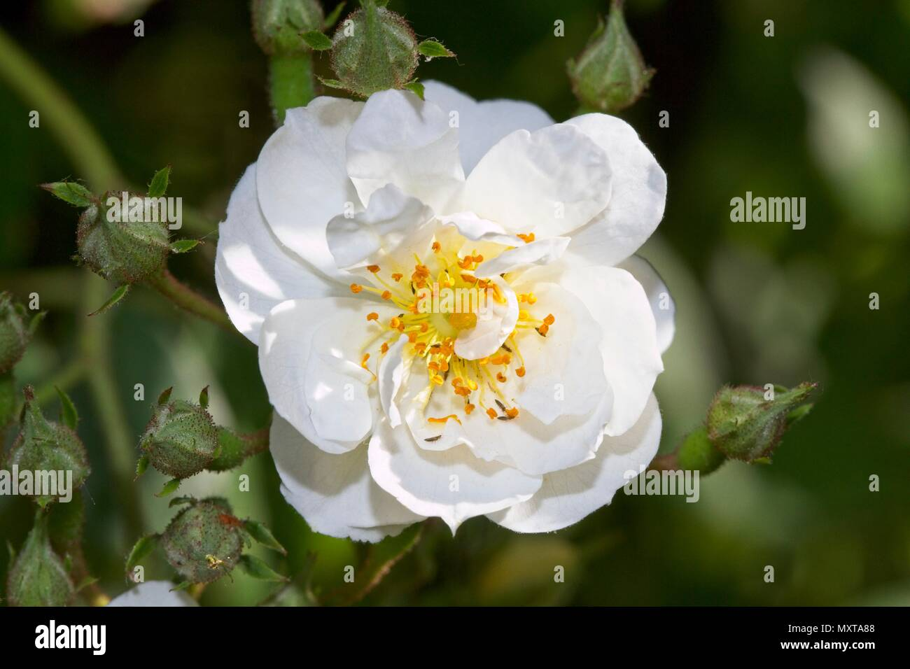 Climbing rose, Rosa 'Rambling Rector' flower head - Stock Image