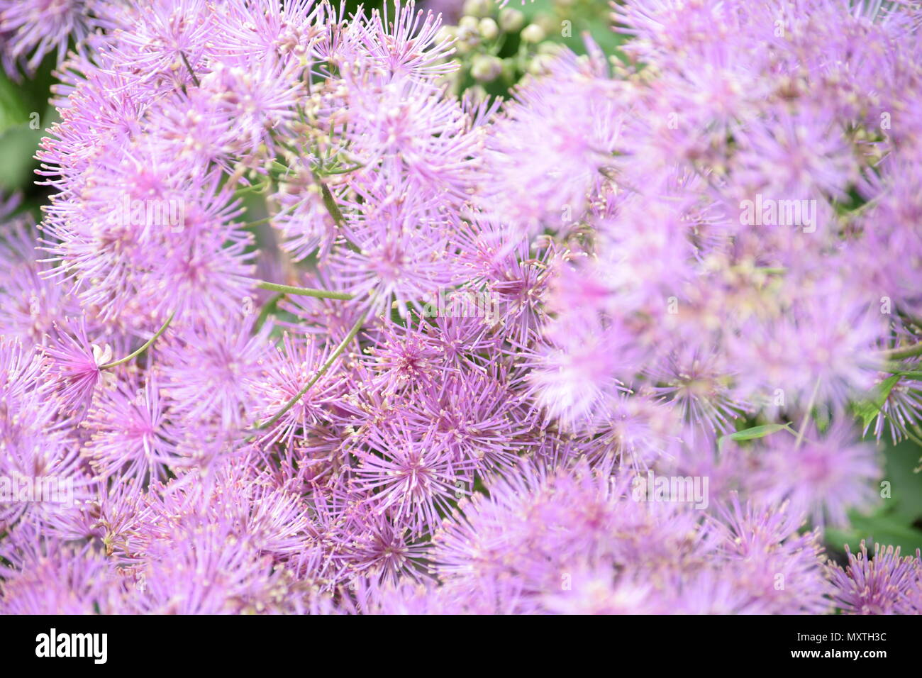 Rue Plant Stock Photos & Rue Plant Stock Images - Alamy